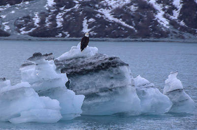 Photo Note Card: Bald Eagle perched on a Bergy Bit (a mid-sized piece of an iceberg), main channel in Glacier Bay National Park, Alaska