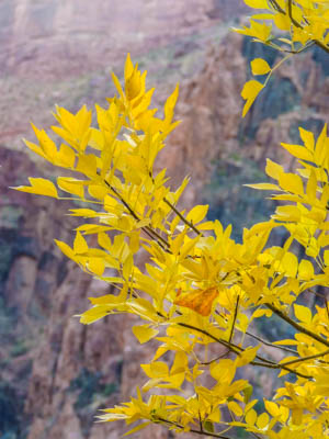 Photo Note Card: Fall Color on golden Cottonwood leaves at Phantom Ranch, path to Bright Angel Campground at the bottom of the Grand Canyon, Grand Canyon National Park, Arizona